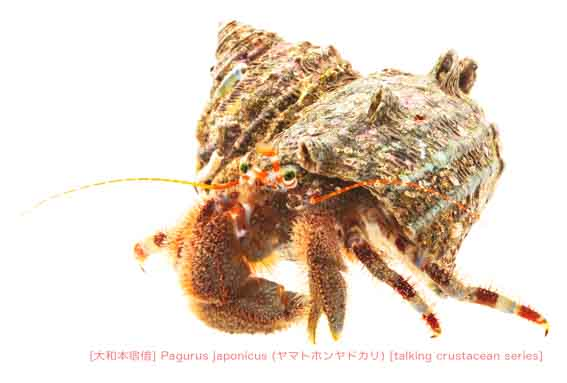 ヤマトホンヤドカリ22 P