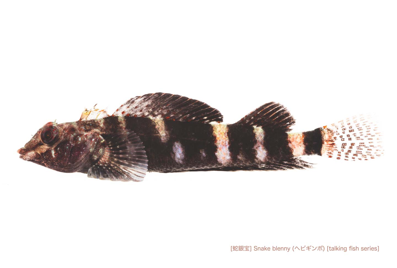 ヘビギンポ01 P