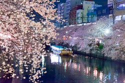 130326cherry_blossom_night_061.jpg