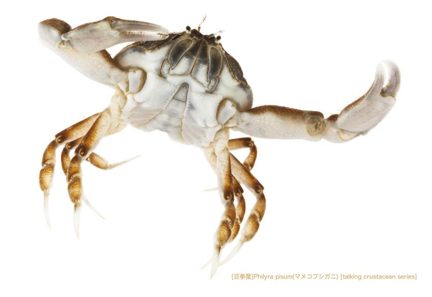 マメコブシガニA60 P.jpg