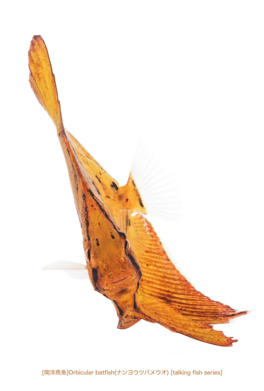 ナンヨウツバメウオb33 P