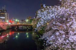 170410夜桜06