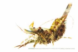 アシナガモエビモドキC21 P