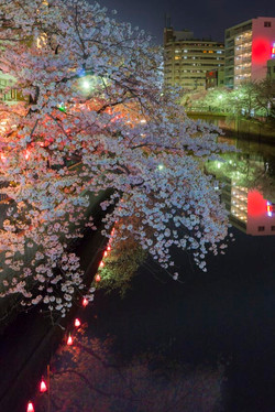 170410夜桜30