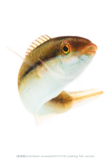 カミナリベラ33 P
