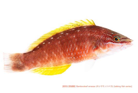 ホシササノハベラc04 P