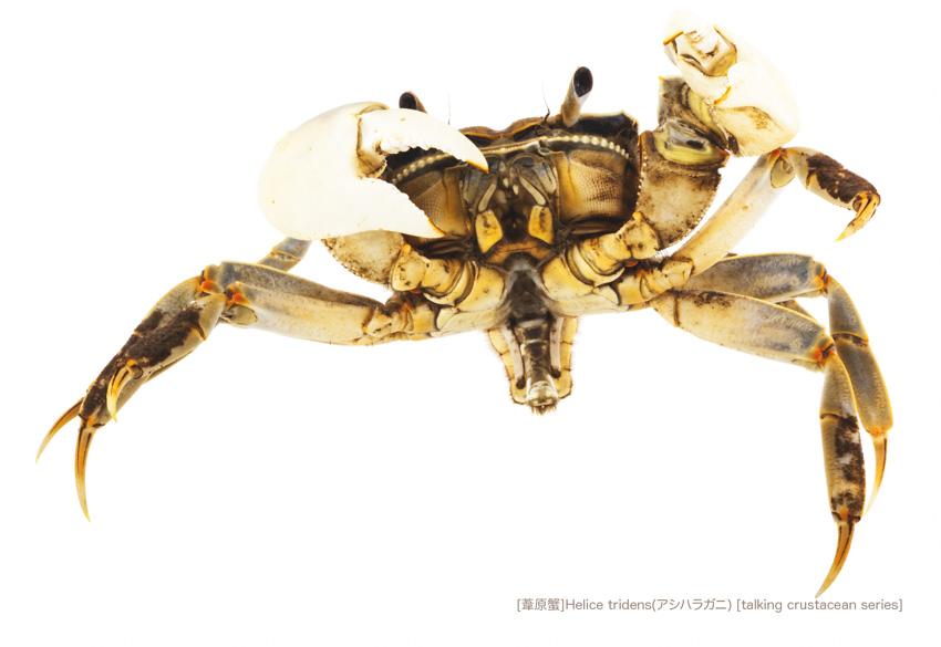 アシハラガニA15 P.jpg