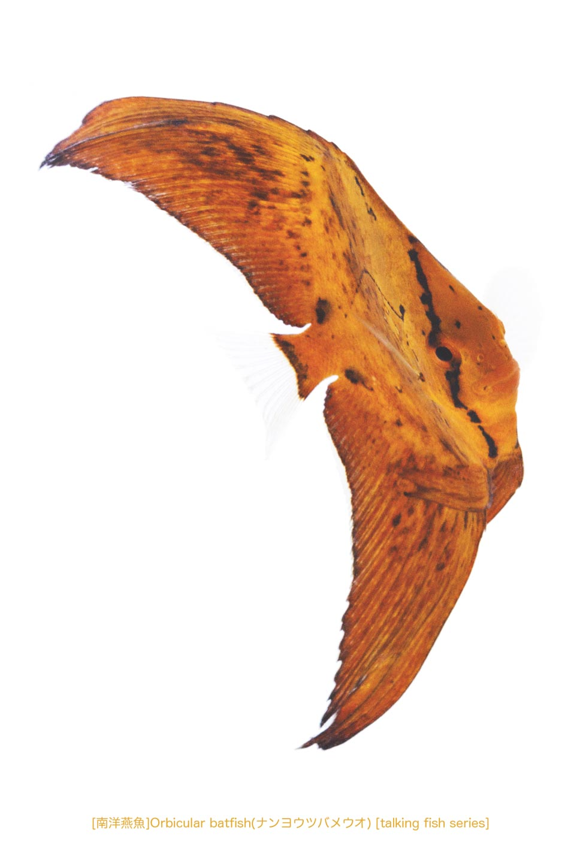 ナンヨウツバメウオa06 P