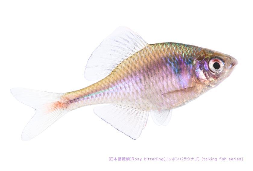 ニッポンバラタナゴa01 P