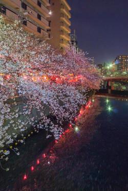 170410夜桜10