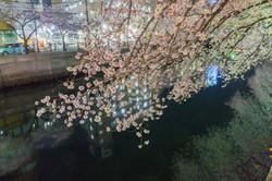 170410夜桜147