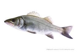 sea-bass_140_P.jpg