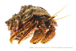 コブヨコバサミ02 P