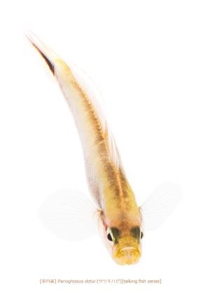 サツキハゼa02 P