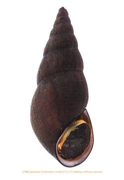 カワニナA01 P.jpg