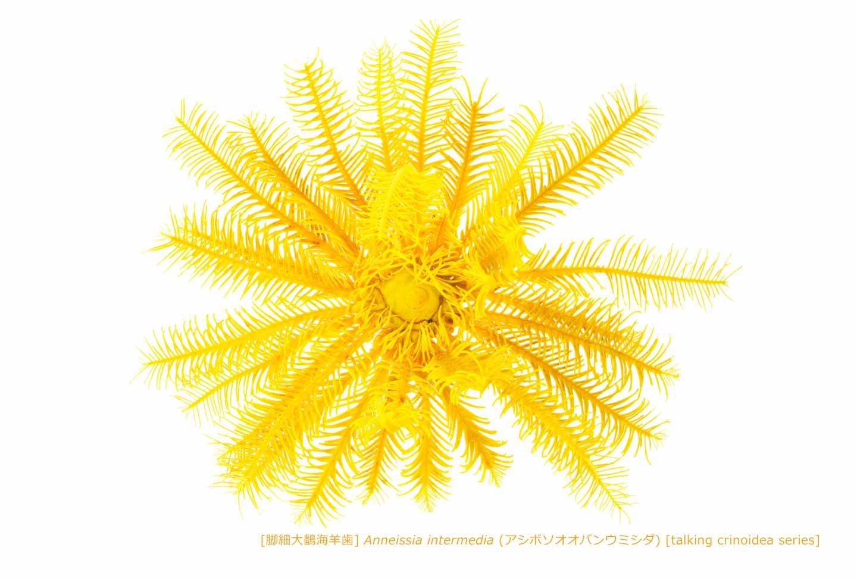 アシボソオオバンウミシダ01 P