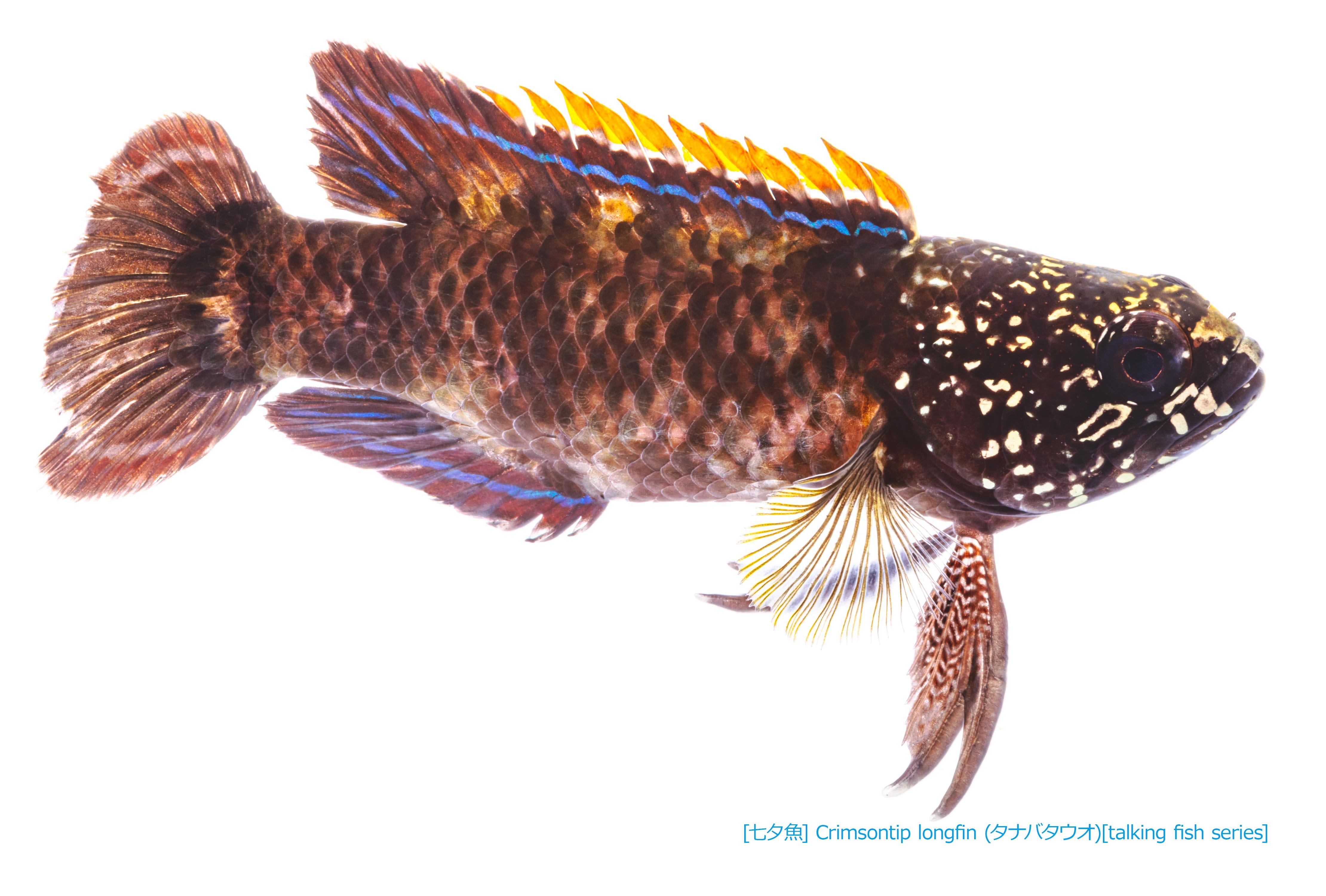 タナバタウオ01 P