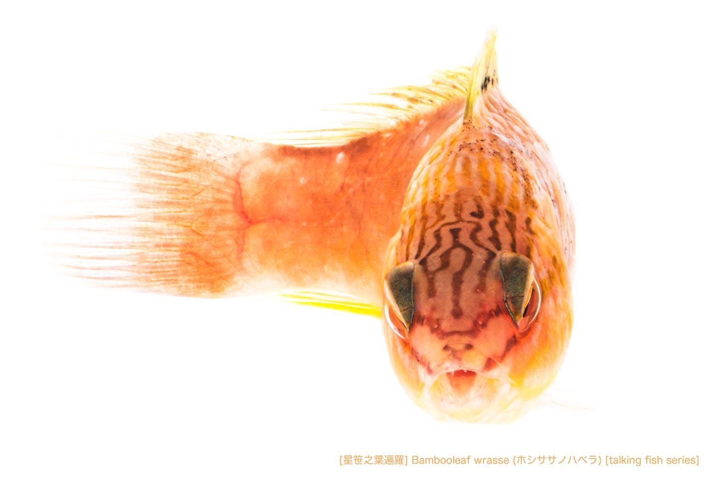 ホシササノハベラA25 P