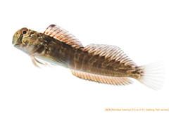 カエルウオa34 P