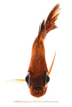 ツマグロハタンポa18 P