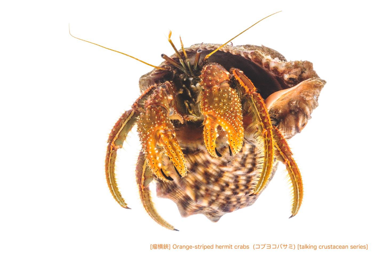コブヨコバサミ21 P