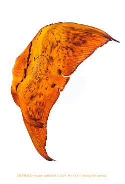 ナンヨウツバメウオa32 P