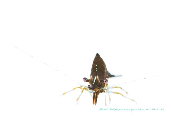 コシマガリモエビA05 P.jpg