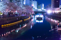 130326cherry_blossom_night_085.jpg