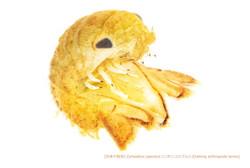 ニホンコツブムシc04 P