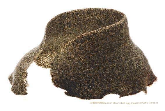 ツメタガイ卵塊A1 P.jpg