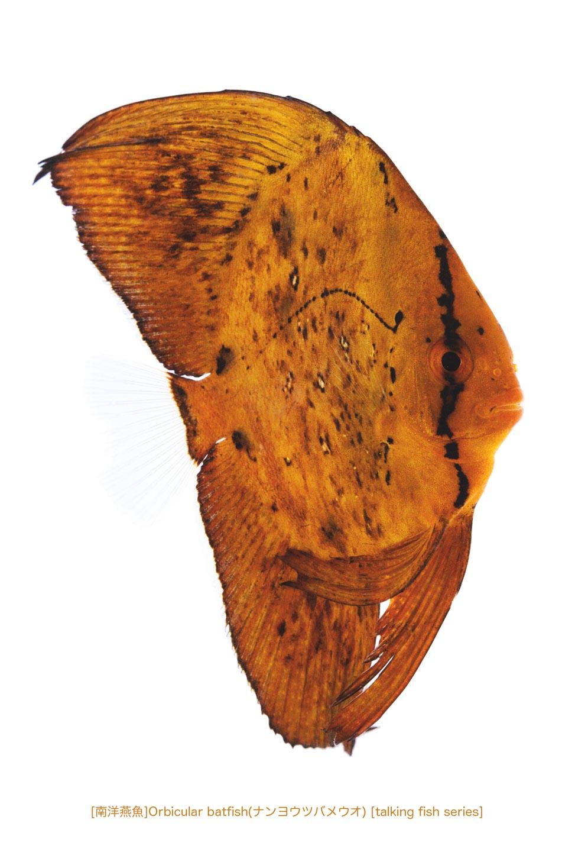 ナンヨウツバメウオa01 P