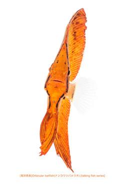 ナンヨウツバメウオb37 P