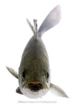 sea-bass_142_P.jpg
