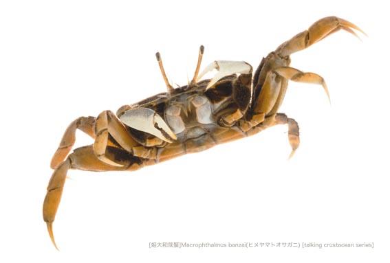 ヒメヤマトオサガニA17 P