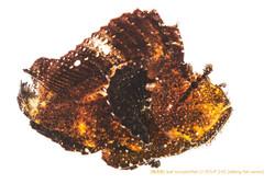 ハダカハオコゼ02 P