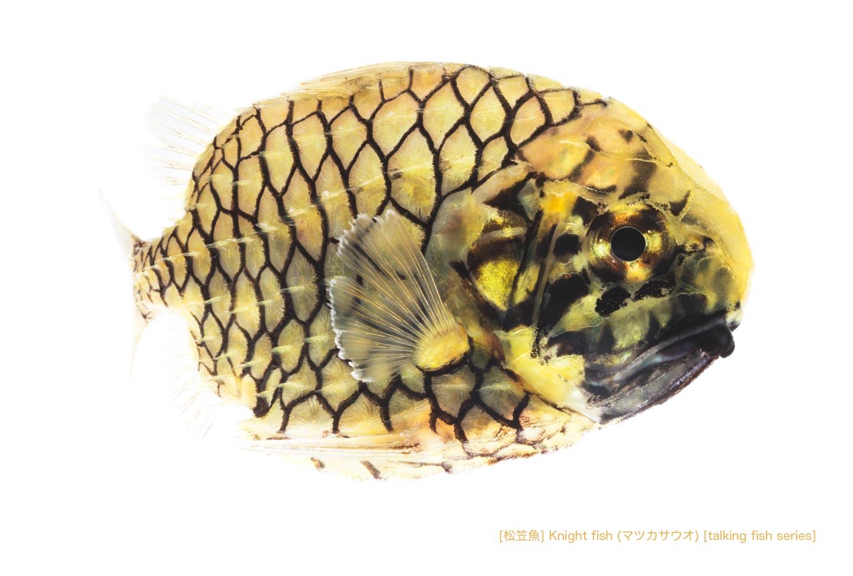 マツカサウオb02 P