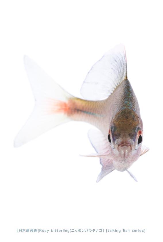 ニッポンバラタナゴa15 P