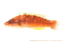 ホシササノハベラA40 P