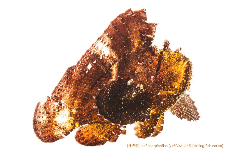 ハダカハオコゼ11 P