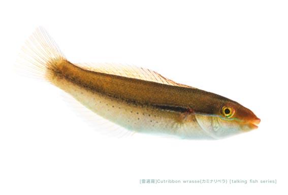カミナリベラ04 P
