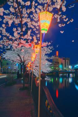 130326cherry_blossom_night_015.jpg