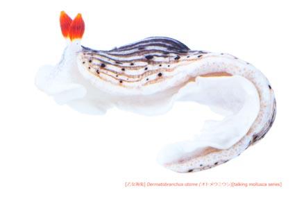 オトメウミウシ54 P