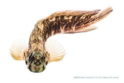 カエルウオb10 P