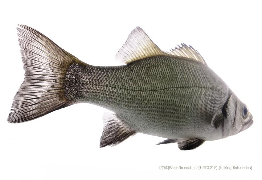 sea-bass0341_P.jpg