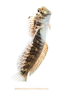 カエルウオa17 P