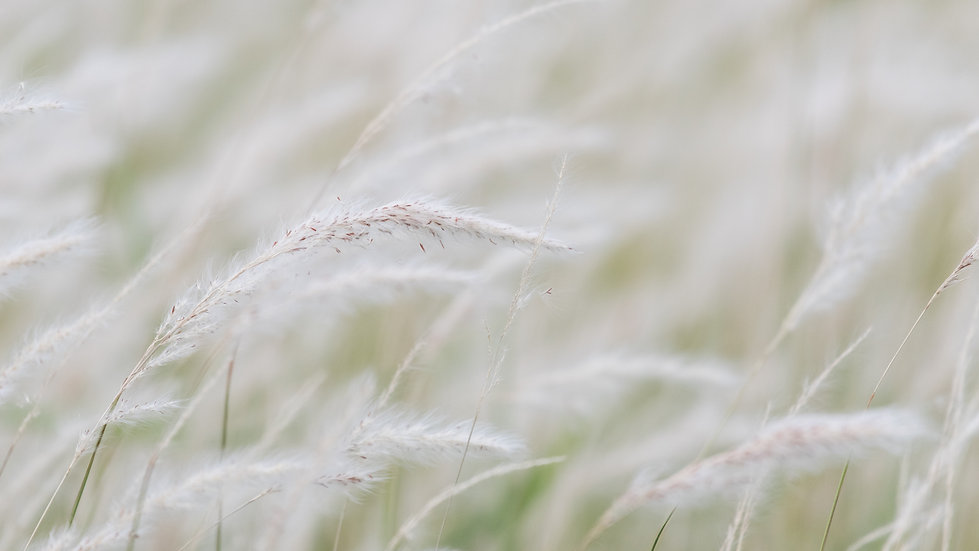 dry-grass-flower-blowing-wind-red-reed-s