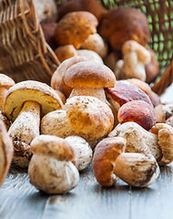 Autumn Cep Mushrooms. Basket with porcini mushrooms on the background of a tree outdoors.