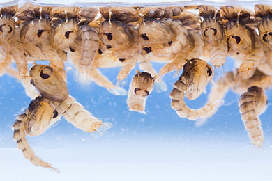 help prevent mosquitos