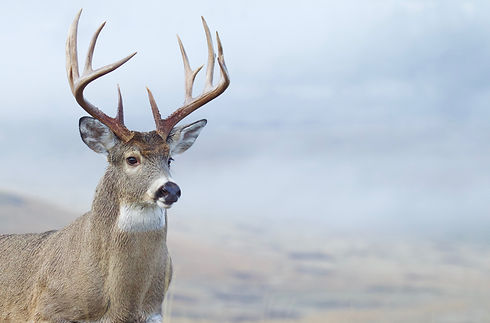 Whitetail Buck Deer close up portrait of
