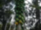 papaya tree on the estate